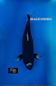 hageshiro.jpg