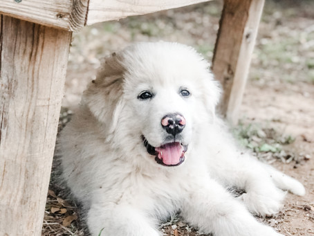 Buying our Livestock Guardian Dog Puppy