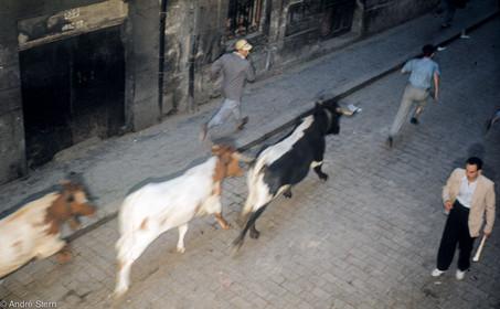 Bulls in the street.