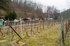 New vineyard in Seco, KY