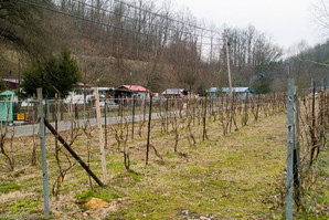 New vineyard in Seco, KY