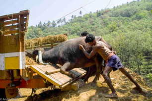 Loading cow