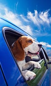 DOG IN CAR - shutterstock_129442382.jpg
