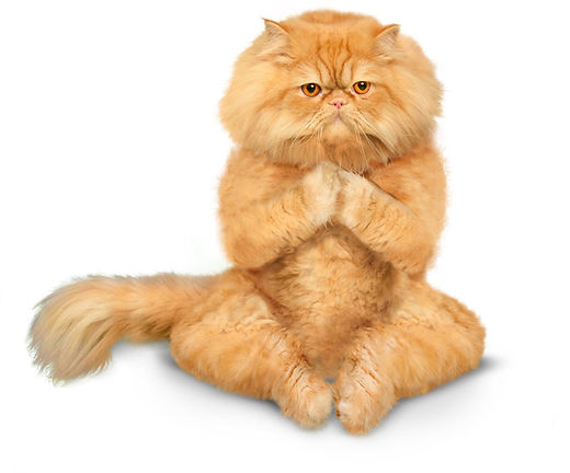 yoga cat lotus pose