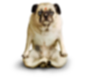 yoga dog pug lotus pose