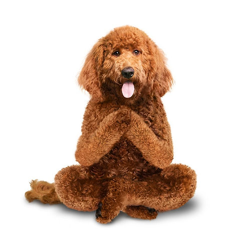 yoga dog labradoodle lotus pose
