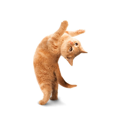 yoga kitten back bend pose yogacat