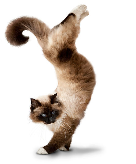 yoga cat siamese hand stand pose