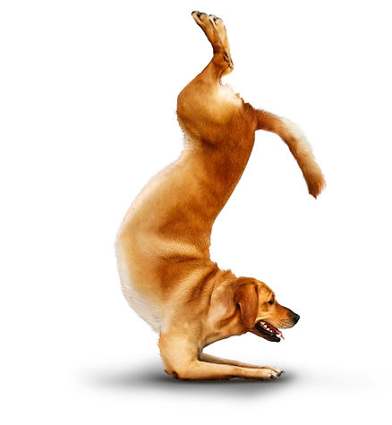 YOGA DOG SCORPION POSE labrador