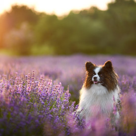 Im Lavendel-Labyrinth