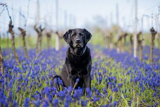 Labrador Alpha Outdoor