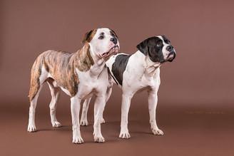 Chevy und Ipo - Zwei Amerikanische Bulldoggen