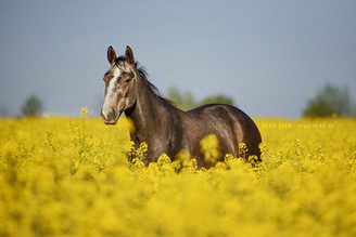 Mit dem Pferd ins Rapsfeld