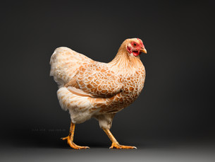 Hühner im Studio