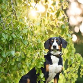 Entlebucher Sennenhund Duke