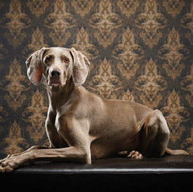 Weimaraner Holly im Studio