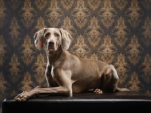 Weimaraner Holly im Studio
