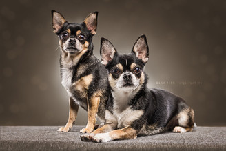 Blue und Lounes, ein Chihuahua-Team