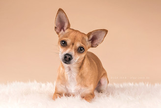 Pria, die kleine Chihuahua-Dame