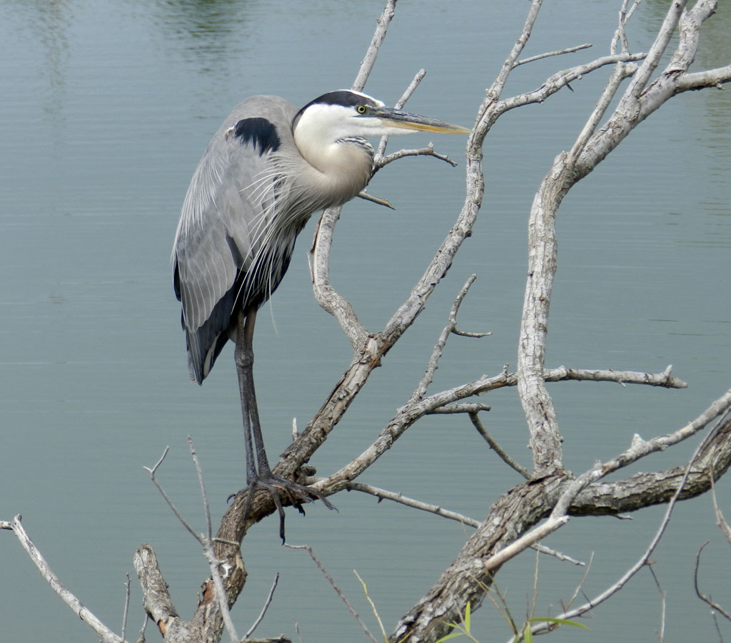 The Official Great Blue Heron Pose