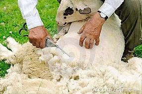 #19 esquilando la oveja.jpg