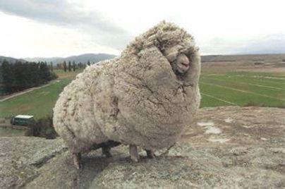 #18   demasiada  lana.jpg