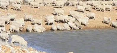 sheepsDrinking2.jpg