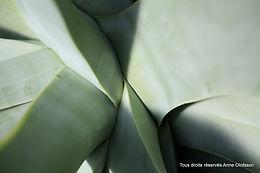 Photo agave