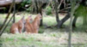 Lynx en pose