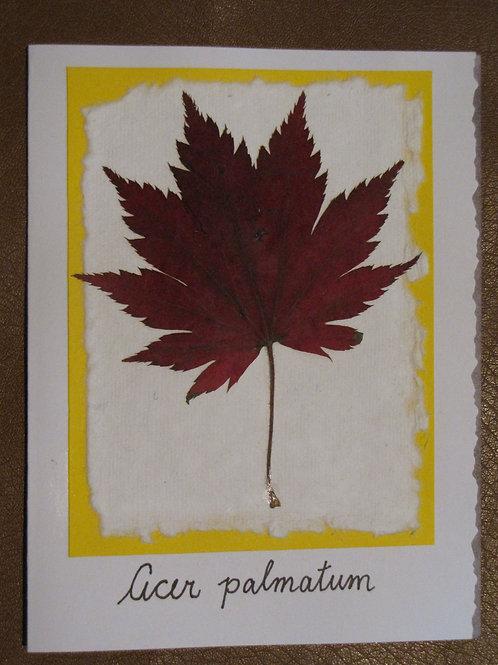 Acer palmatum Card