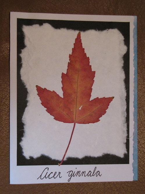 Acer ginnala Card