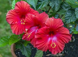 trio-of-vibrant-red-hibiscus-flowers-wit
