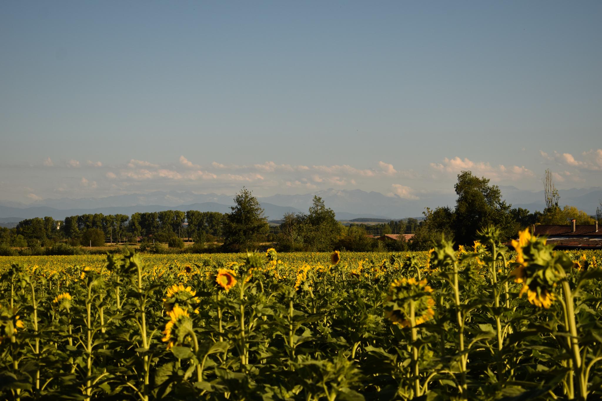 Les Pyrénées derrière le champ de tournesols
