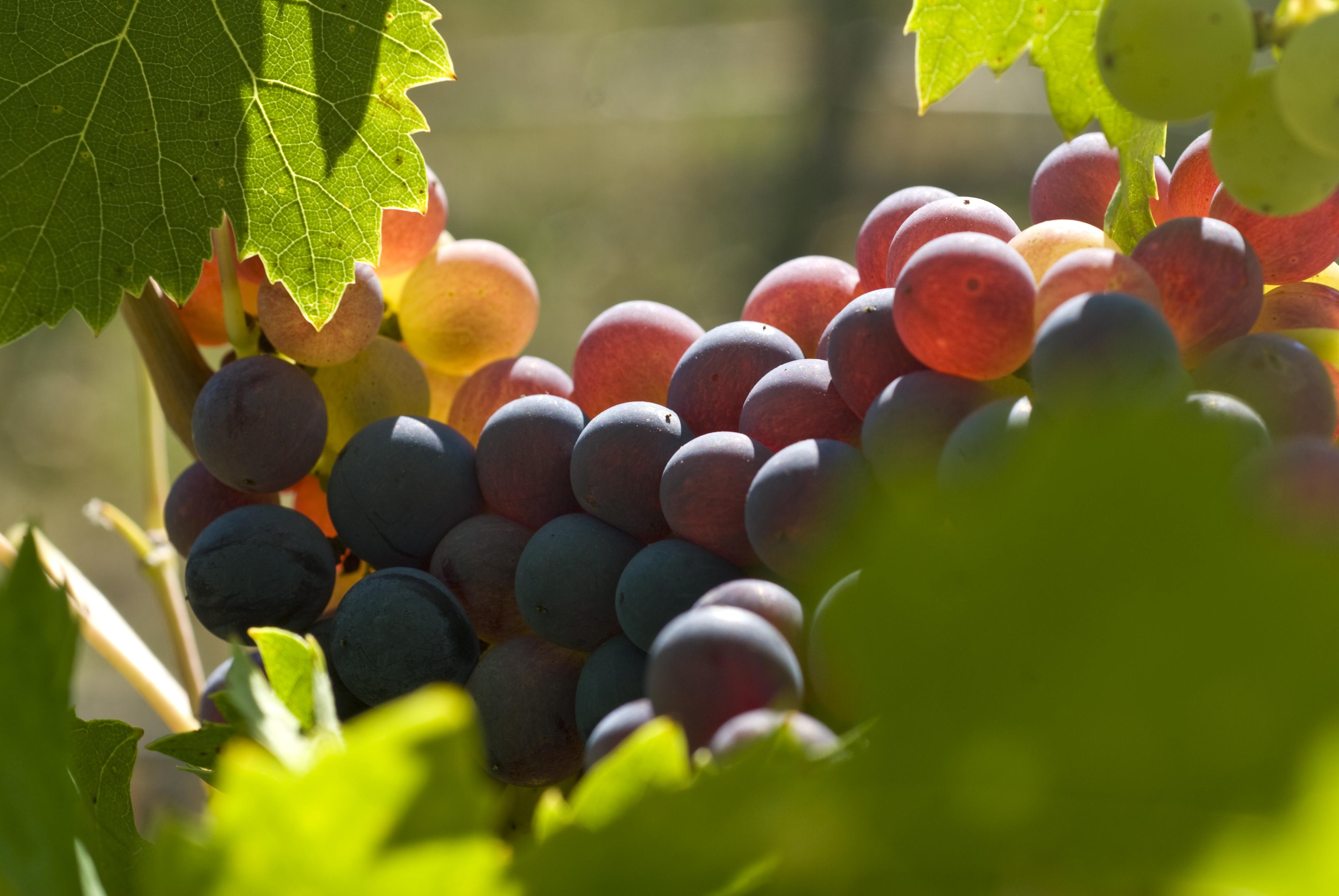 Grapes2.jpg