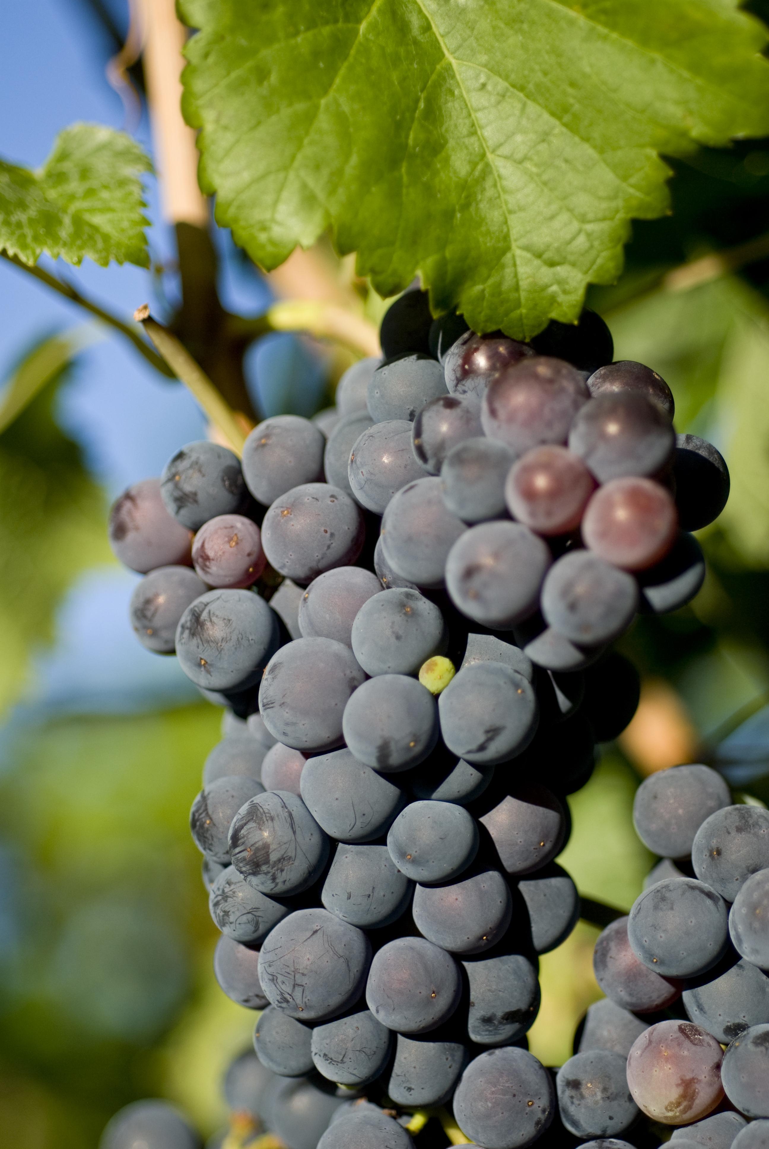 Grapes11.jpg