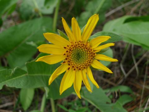 balsamroot april10 - Copy.jpg