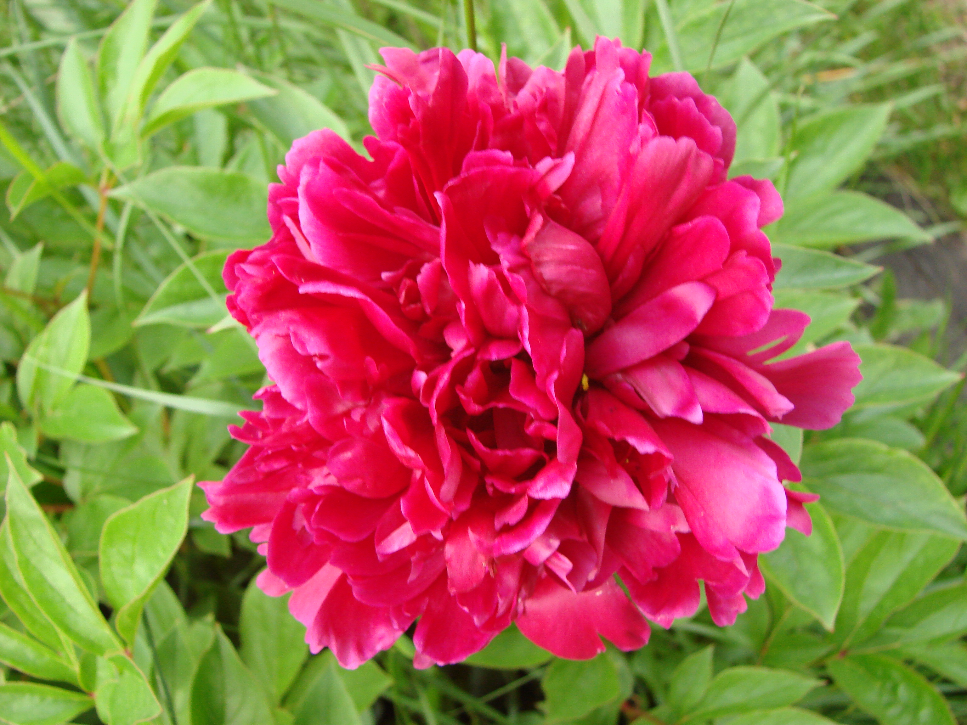 Peonies in mid June003.JPG