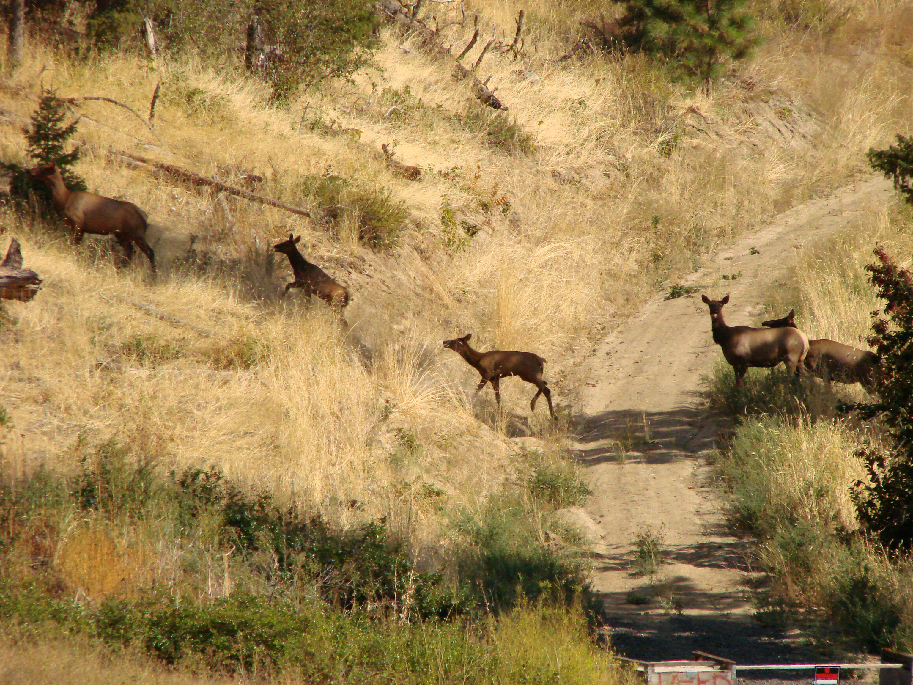 elk crossing path.JPG