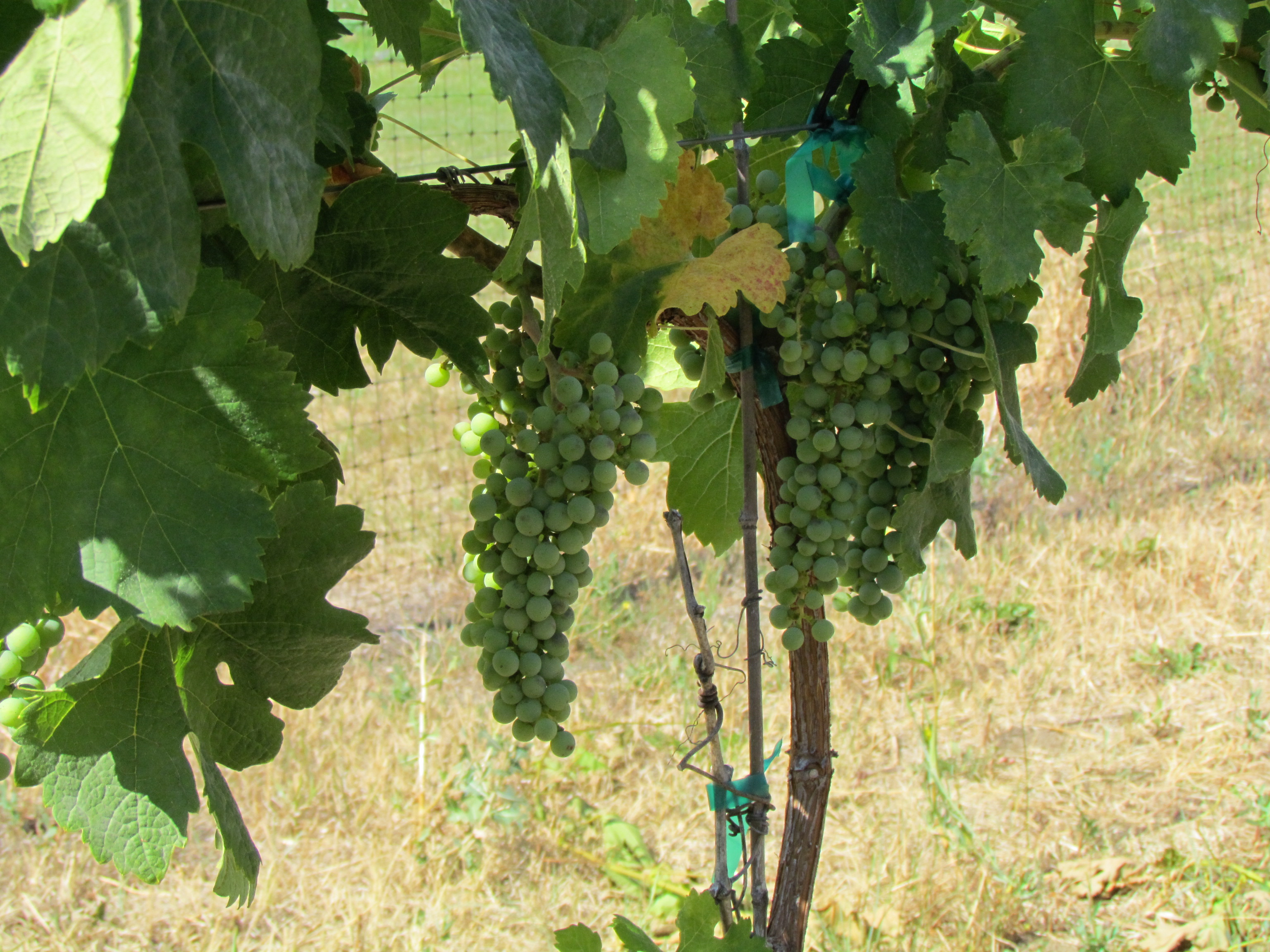 Vineyard with grapes 9 (10).JPG