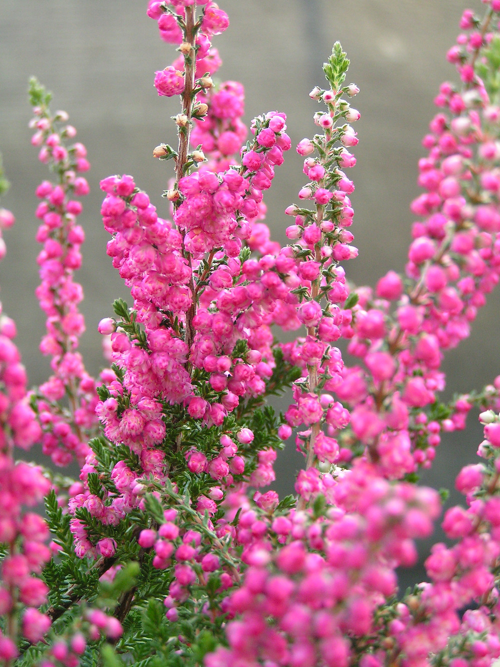 pink heather flowers
