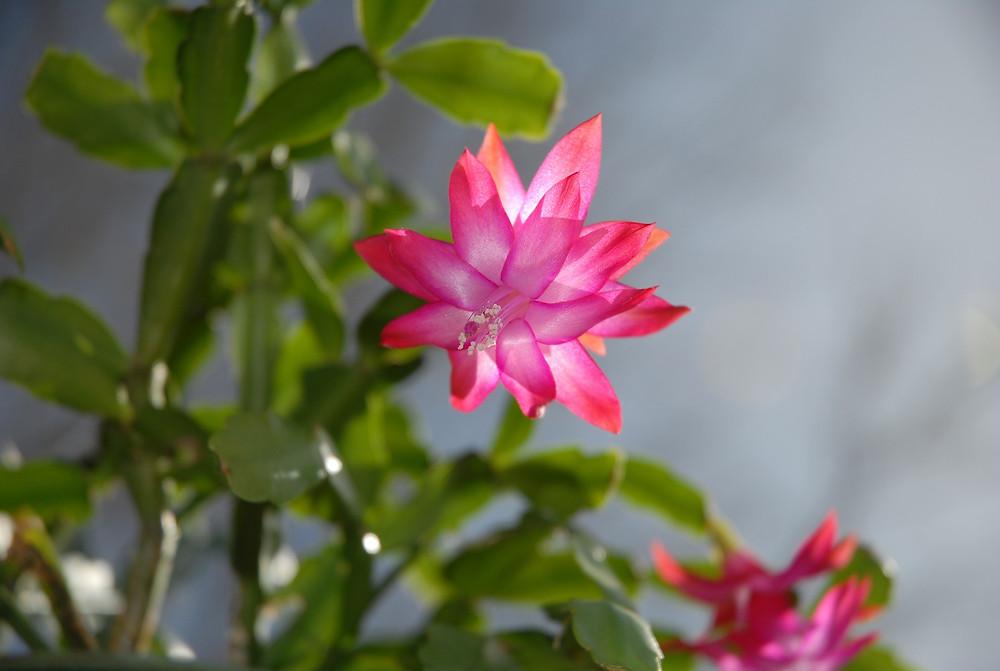 pink christmas cactus flower