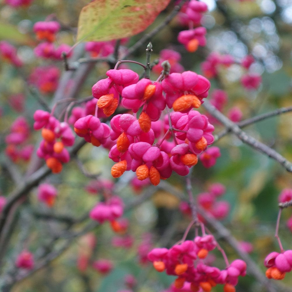 pink and orange seeds of Euonymus