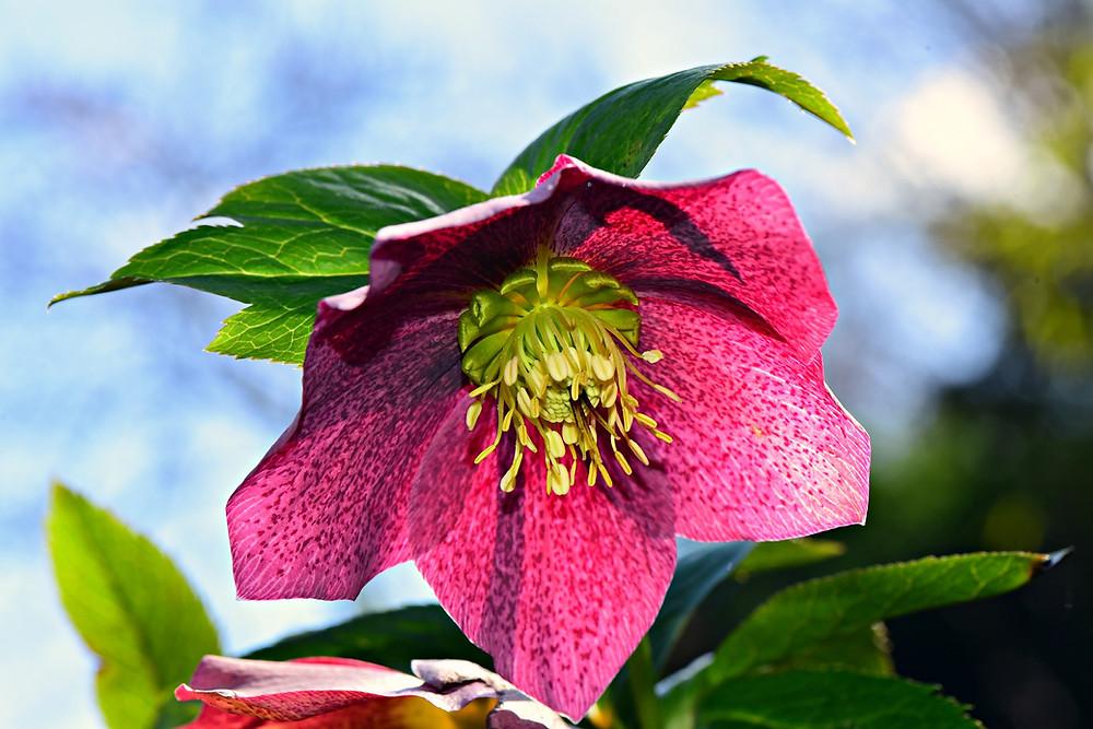 pink hellebore flower against a blue sky
