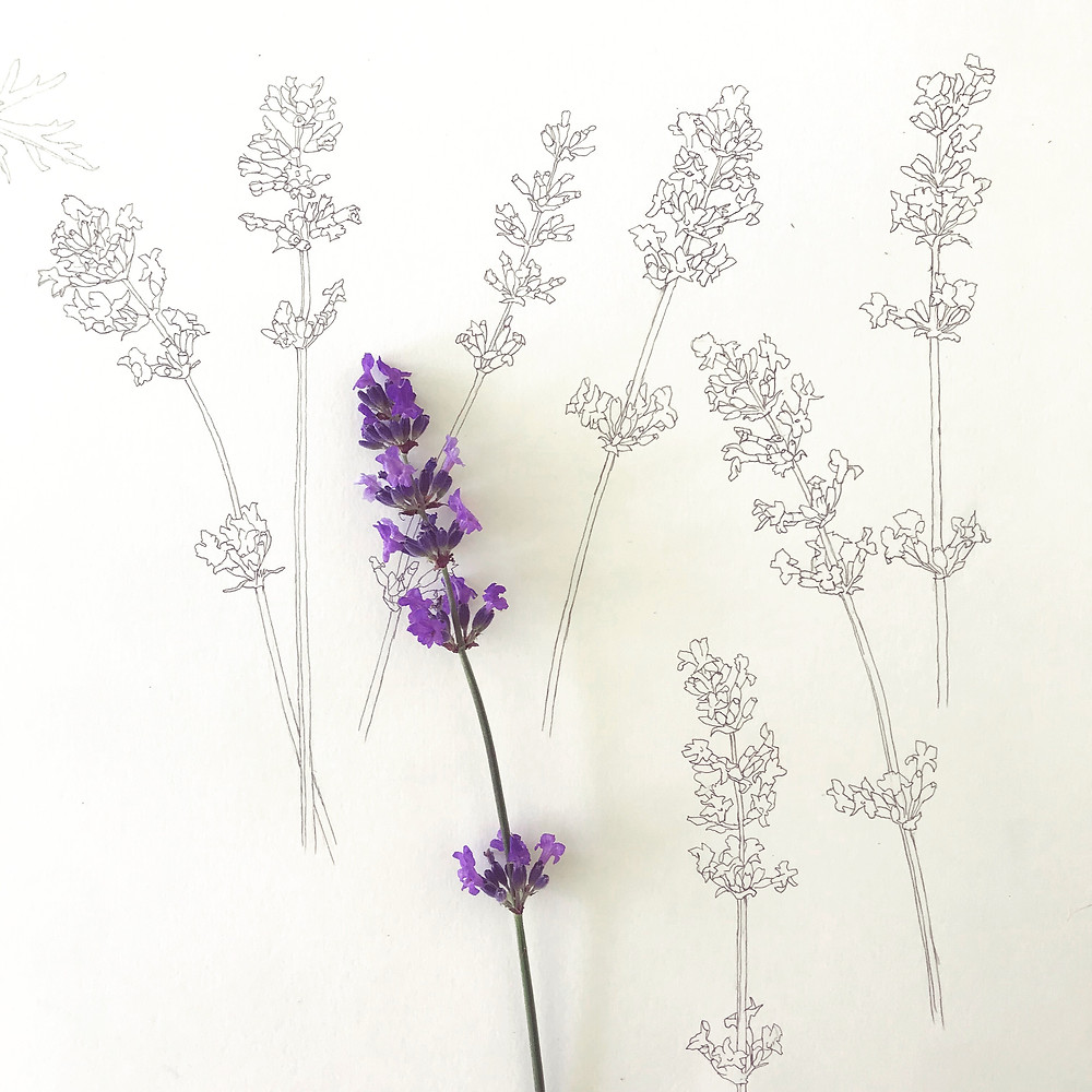Pencil drawings of lavender with a sprig of lavender