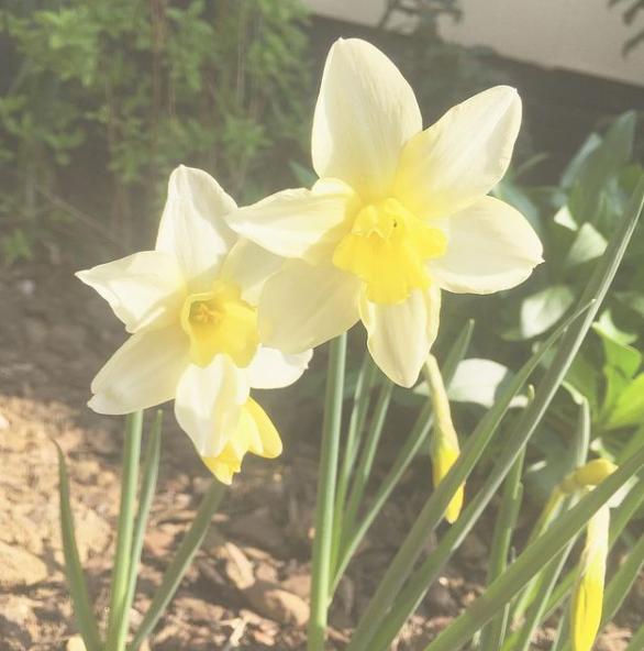 yellow thalia daffodil