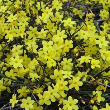 yellow flowers winter jasmine
