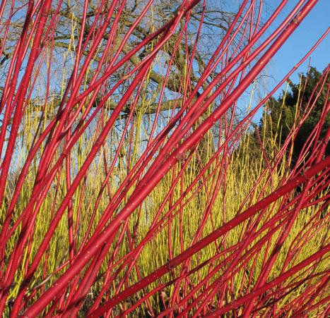 coloured winter stems of cornus