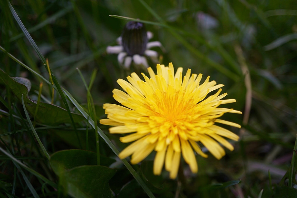 A yellow dandelion flower in the grass