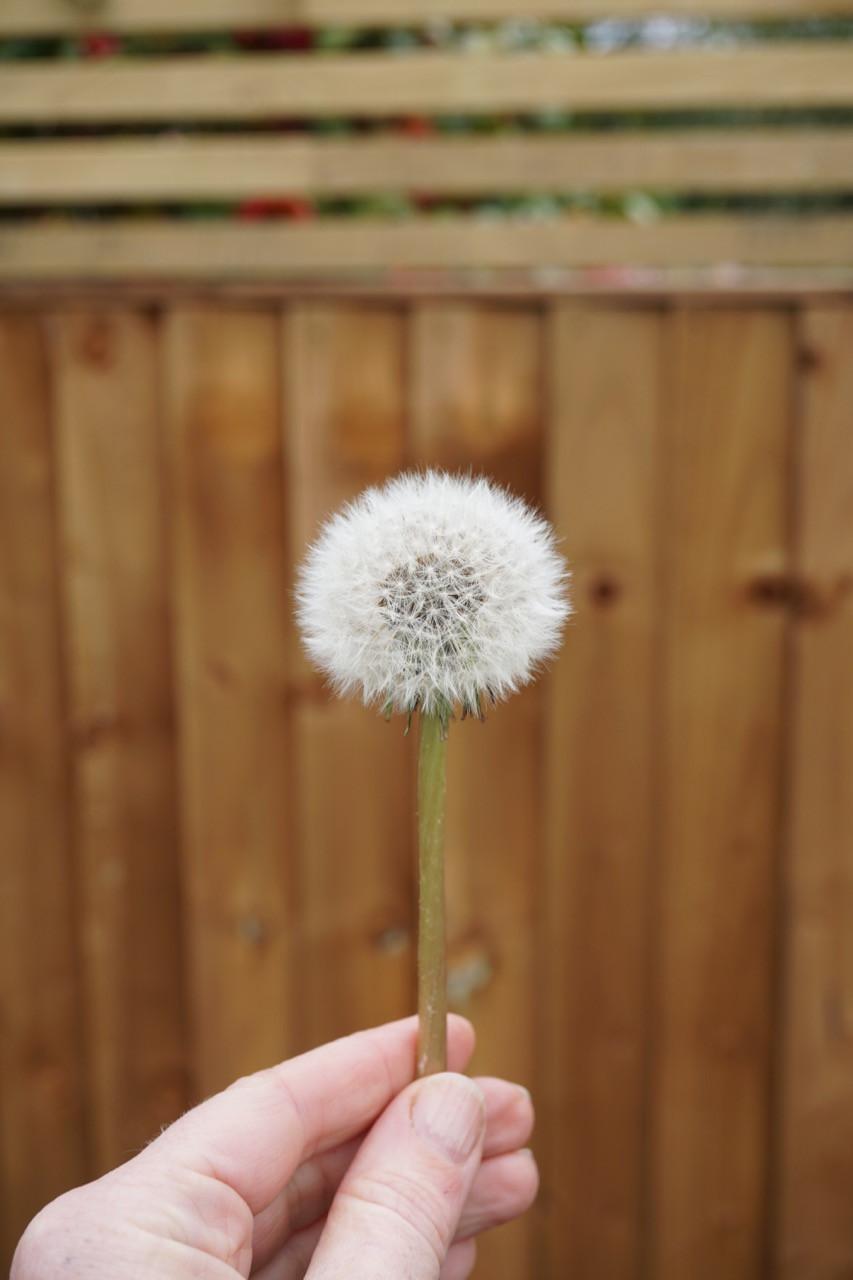 A dandelion seedhead against a brown fence