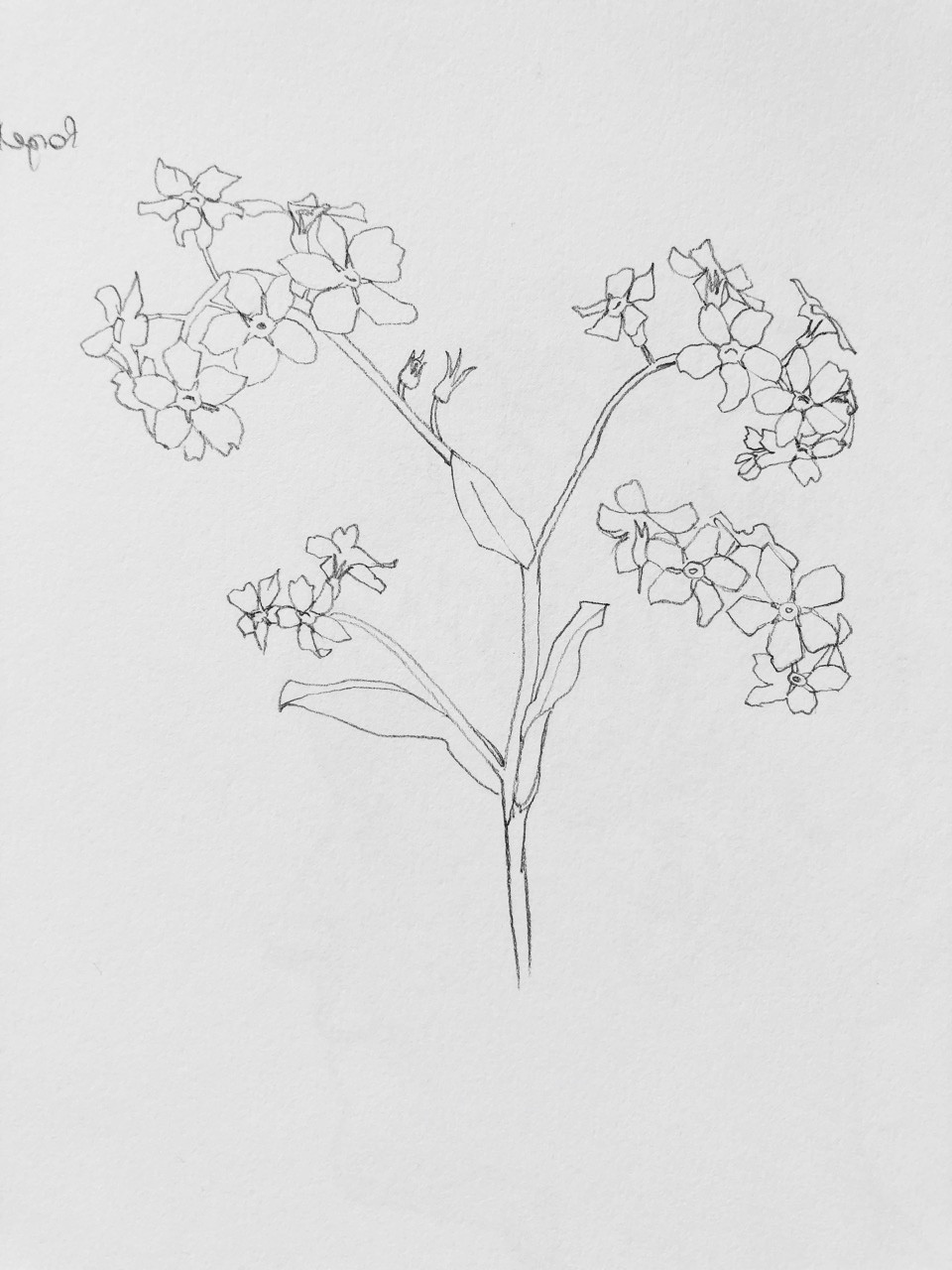 pencil drawing of forget me not flowers